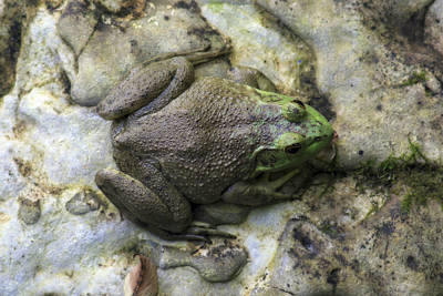 Photograph - Bullfrog by CE Haynes