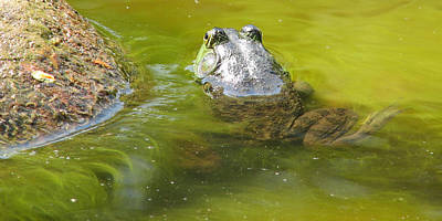 Photograph - Bullfrog Heading Out by Natalie Rotman Cote