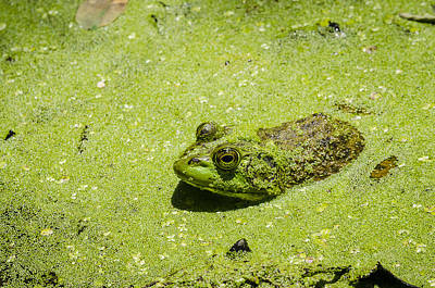 Photograph - Bullfrog In Duckweed by Bradley Clay