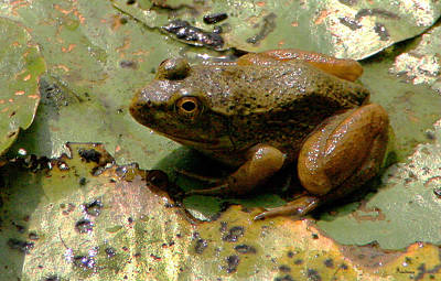 Photograph - Bullfrog by Michael Friedman