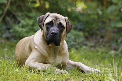 Bull Mastiff Photograph - Bullmastiff Dog by Jean-Michel Labat