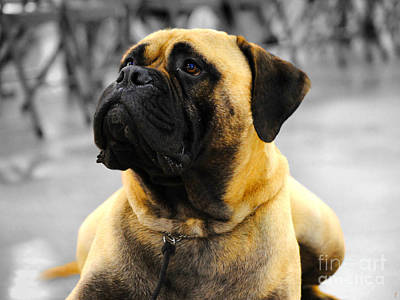 Photograph - Bullmastiff by Jai Johnson