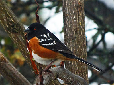 Photograph - Rufus-sided Towhee by Jacqueline  DiAnne Wasson
