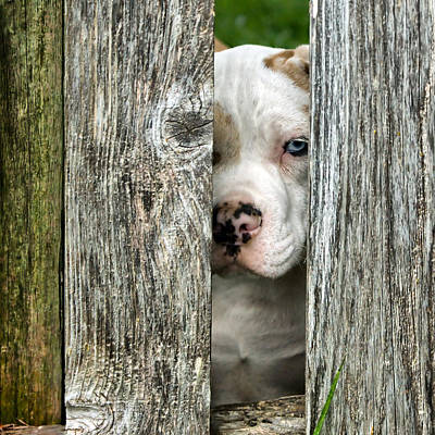 Photograph - Bull's Eye - English Bulldog by Nikolyn McDonald
