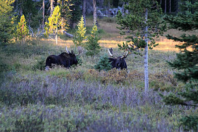 Photograph - Bulls In The Meadow by Shane Bechler