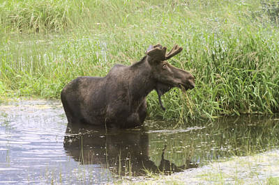 Swamp Thing Photograph - Bullwinkle  by Jeff Swan