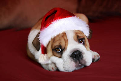 Cute Dog Digital Art - Bully For Santa by Julie L Hoddinott