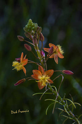 Cactus - Bulpine Beauty by Dick Francis