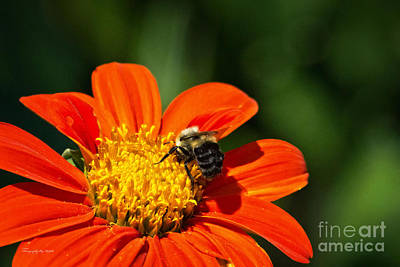 Photograph - Bumble Bee 009 by Ms Judi