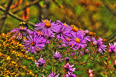 Photograph - Bumble Bee And Prairie Asters by Roger Passman