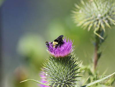 Photograph - Bumble Bee And Thistle by Erica Hanel