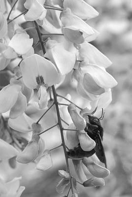 Wisteria In Bloom Photograph - Bumble Bee Bw by Janice Sullivan