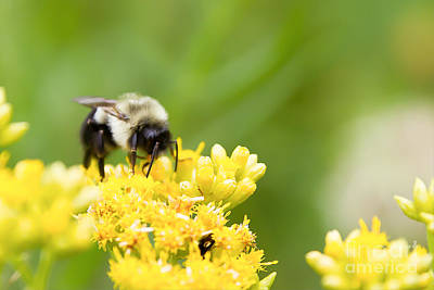 Nikki Vig Royalty-Free and Rights-Managed Images - Bumble Bee Collecting Nectar by Nikki Vig