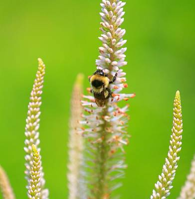 Sports Royalty-Free and Rights-Managed Images - Bumble bee by David Tennis
