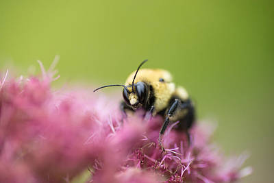 Photograph - Bumble Bee by Dustin  LeFevre