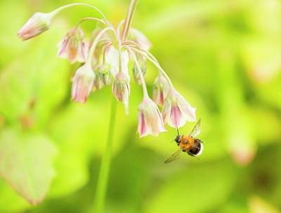 Bumble Bee Gathering Pollen Art Print