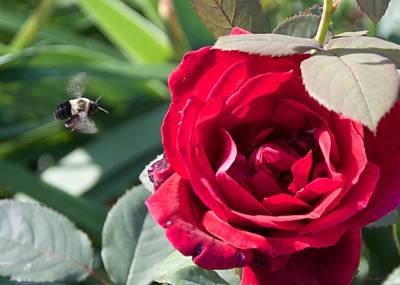 Photograph - Bumble Bee Heading To The Rose by Kristin Hatt