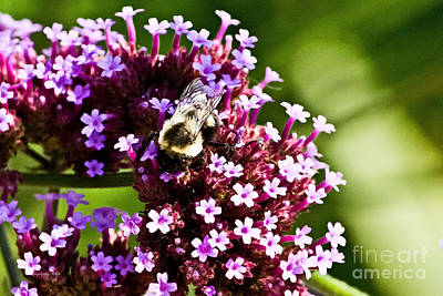 Photograph - Bumble Bee II by Ms Judi