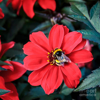 Photograph - Bumble Bee In Red Daisy by Peta Thames