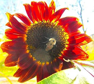 Photograph - Bumble Bee In Sunflower by Kathryn Barry