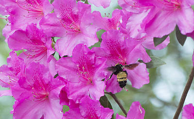 Photograph - Bumble Bee In The Azaleas by Philip Rispin