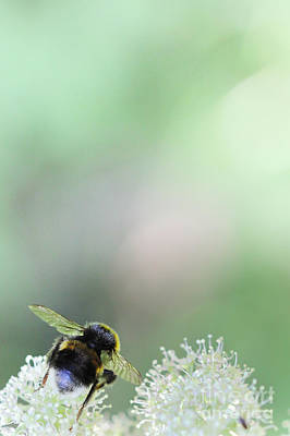 Art Print featuring the photograph Bumble Bee by Jivko Nakev
