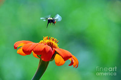 Photograph - Bumble Bee by Laura Mountainspring