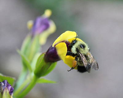 Art Print featuring the photograph Bumble Bee Making A Wish by Penny Meyers