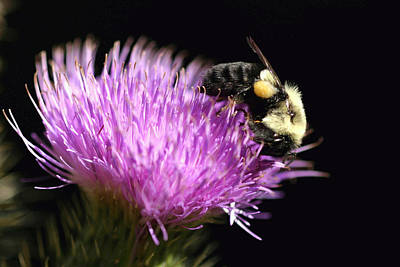 Photograph - Bumble Bee On A Thistle Flower by Gene Walls