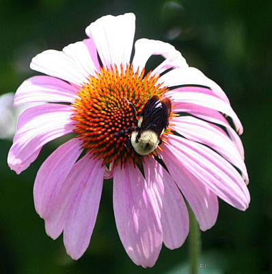 Photograph - Bumble Bee On Cone Flower by Paula Tohline Calhoun