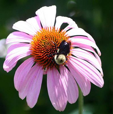 Photograph - Bumble Bee On Cone Flower by Paula Tohline Calhoun