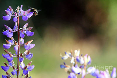Photograph - Bumble Bee On Lupine by Rich Collins