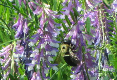 Photograph - Bumble Bee On Purple Flowering Vetch by Debbie Nester