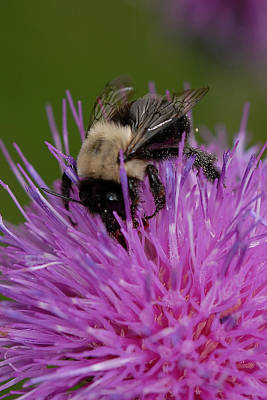 Photograph - Bumble Bee by Susan D Moody
