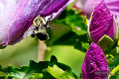 Photograph - Bumble Bee Vii by Ms Judi