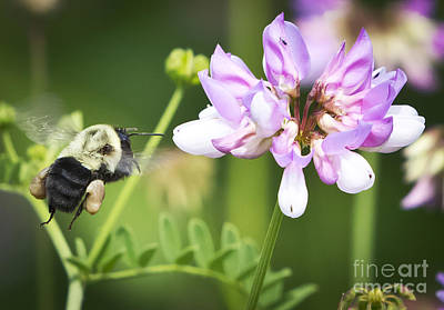 Photograph - Bumble Bee With Pollen Basket by Ricky L Jones