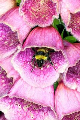 Bumblebee And Foxglove Hybrid Art Print by Dr Jeremy Burgess/science Photo Library
