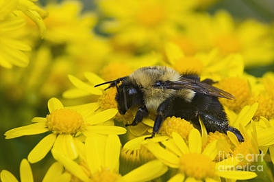 Photograph - Bumblebee - D008456 by Daniel Dempster