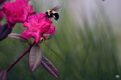 Photograph - Bumblebee Flower by John Meader