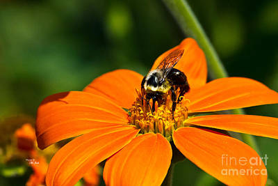 Photograph - Bumblebee Hard At Work by Ms Judi