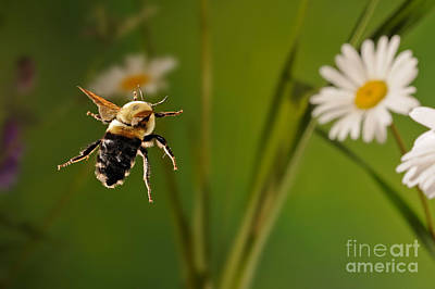 Photograph - Bumblebee In Flight by Scott Linstead