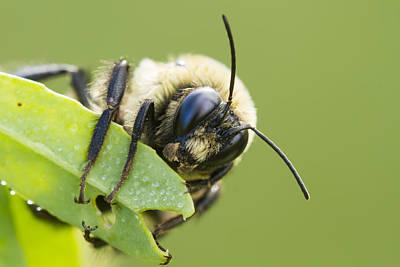 Bumblebee Art Print by Mircea Costina Photography