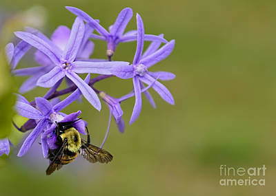 Photograph - Bumblebee by Olga Hamilton