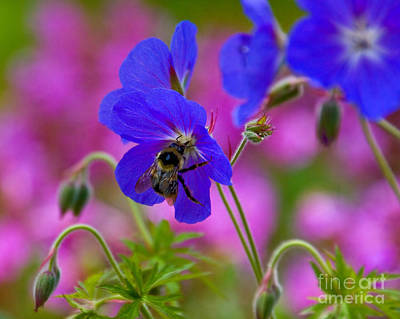 Photograph - Bumblebee On A Crane's Bill by Chuck Flewelling