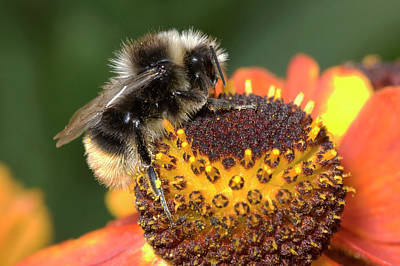 Bumblebee On A Flower Art Print by Nigel Downer
