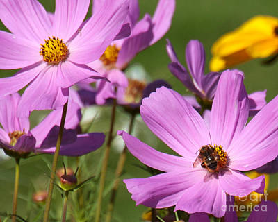Photograph - Bumblebee On Cosmos by Chuck Flewelling