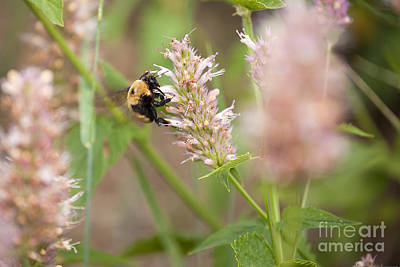 Photograph - Bumblebee On Pink Wildflowers by Cindy Singleton