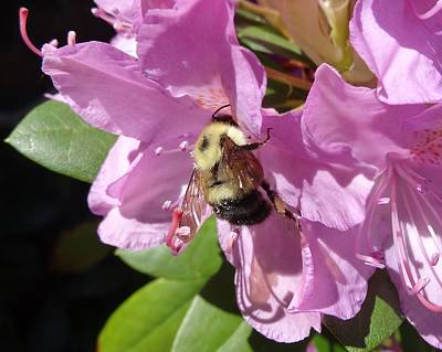 Photograph - bumblebee on Rhododendron by Lucinda VanVleck