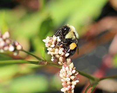 Photograph - Bumblebee On Smartweed by Lucinda VanVleck