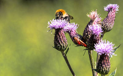 Art Print featuring the photograph Bumblebee On Thistl by Leif Sohlman